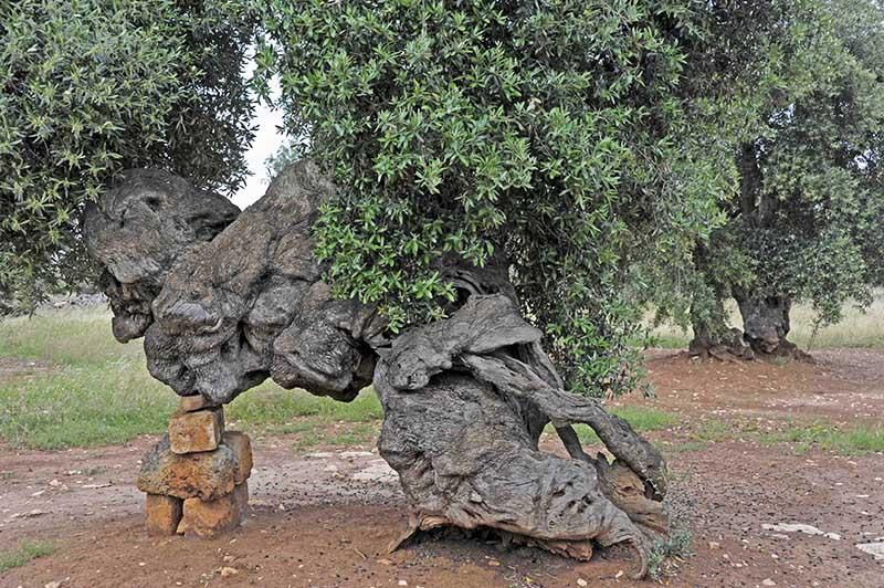 xylella-fastidiosa-strage-ulivi-olivo-masseria-brancati-vittorio-giannella